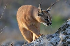 The #Caracal , Mujib Nature Reserve, #Jordan: a medium-sized #cat distinguished by its black and white ear tufts. An agile and powerful hunter, the Caracal can be spotted in action in the rocky valley of #Mujib, using its amazing jumping power to catch airborne prey. http://www.gweet.com/