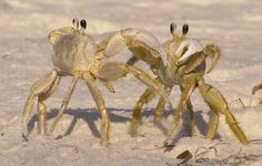 ghost crabs...so much fun watching thousands of these running on the shore before nightfall