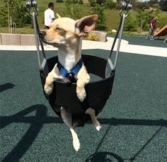 chihuahua in swing - Bing images Funny Dog Memes, Funny Dogs, Cute Dogs, Cute Chihuahua, Chihuahua Puppies, Animals And Pets, Funny Animals, Cute Animals, Nicest Dog Breeds