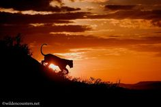 Africa | Silhouette of Lioness jumping down the side of a kopie at sunset, Seronera, Serengeti, Tanzania |  © Paul and Paveena McKenzie