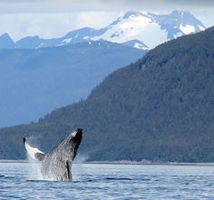 Saw 5 humpback whales breach on our whale watching tour in Juneau, Alaska