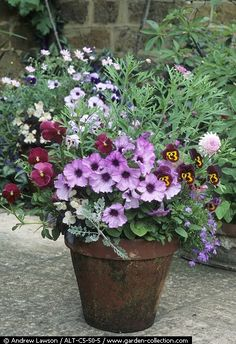 Love the purple petunias with the lavender and deep burgundy pansies.