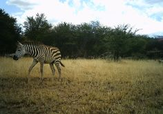 I just classified this image on Snapshot Serengeti! a young zebra, perhaps with parents resting in the background