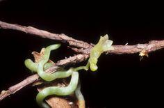 Taeniophyllum proliferum
