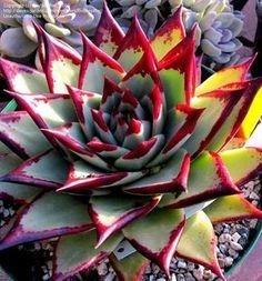 Full size picture of Echeveria 'Ebony' (Echeveria agavoides)