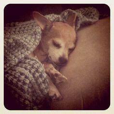 tico! sleepy chihuahua