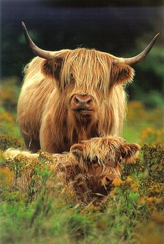 Highland cow and her calf in the meadow.