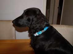 Lula looking fabulous in her new Red Dingo collar in turquoise - http://www.dapperpets.co.uk/Red+Dingo+Plain+Turquoise+Dog+Collar/P1033741930.html