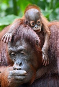 A female Bornean orangutan named Dam is seen with her newborn son Veera at the Singapore Zoo on March 6, 2013. Veera was born on January 21 at the Zoo – the 40th orangutan birth to date – which has the largest social colony of endangerd Sumatran and Bornean sub-species orangutans. (Photo by Roslan Rahman/AFP Photo) http://avaxnews.net/touching/Cute_Bornean_Orang.html