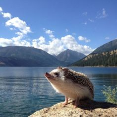 Biddy's account was recently hacked. Thank you to everyone involved in helping us recover it, Biddy truly has the best followers! Biddy's account has been left open for everyone to enjoy and will stay just that. Here is our special hog looking majestic as ever! #biddythehedgehog #majestichog #wallowalake 🐭