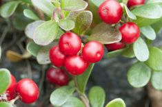 Bearberry is used in many natural skin lighteners. it contains something called arbutin, which is a natural skin brightener and a natural alternative to synthetic hydroquinone.  #skinwhitening