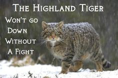 The Scottish Wildcat is an endangered species in immediate threat of extinction. Please share to bring awareness about this amazing wild animal. There are only 35 in the wild and it could go extinct in 2013! Learn more about the Wildcat and find out how to help here: www.highlandtiger.com  //   http://scottishwildcats.co.uk/index.html