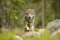 Petition: Stop the Swedish Wolf Hunt » Focusing on Wildlife
