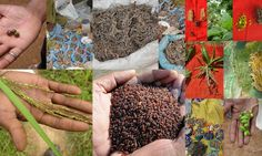 Medicinal Rice based Tribal Medicines for Diabetes Complications and Metabolic Disorders (TH Group-598) from Pankaj Oudhia's Medicinal Plant Database