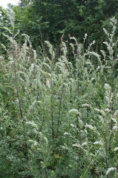 Der Beifuss ist eine alte germanische Zauberpflanze. Er wurde wohl wegen seinem aromatischen Duft als eine sehr zauberwidrige Pflanze angesehen. Nach einem Kräuterbuch aus dem 4. Jahrhundert nach unserer Zeitrechnung soll der, Zuhause aufgehängte, Beifuss die Dämonen und den bösen Blick abwenden. Desweiteren wurde er gegen angezauberten Krankheiten genommen. Am Dachfirst aufgehängt, schützt er vor […]