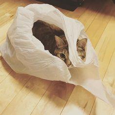 スーパーの袋に入る猫さん  #猫 #ねこ #にゃんこ #愛猫 #おもしろい #可愛い #癒し #写真 #写真好きな人と繋がりたい #写真撮ってる人と繋がりたい #写真を撮るのが好きな人と繋がりたい #photo #cat #cute