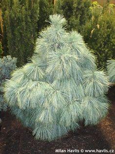 """Pinus x schwerinii """"WIETHORST"""" zakrslá borovice Schwerinova"""