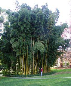 Bamboo garden - for back hill
