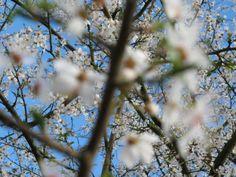 sakura sur Marne