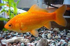 Guldfisk til akvaponik - Akvaponik