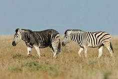 Two Plains Zebras, one with a rare dark melanistic coloration at Etosha National Park, Namibia.