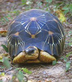 Radiated Tortoise (Geochelone radiata) Madagascar Animals Images, Animals And Pets, Animal Pictures, Cute Animals, Les Reptiles, Reptiles And Amphibians, Mammals, Tortoise Care, Tortoise Turtle