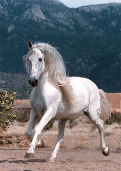 Indiano XVIII, Pure Spanish horses