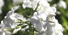 Aikaisimmat syysleimut aloittavat kukinnan jo heinäkuun puolella. Niin myös tämä vanha valkoinen lajike.  Photo Outi Tynys Viherpiha.fi