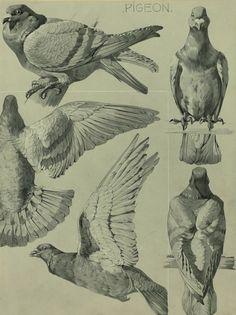 Mathurin Meheut - Pigeon - 1911 - via NYPL