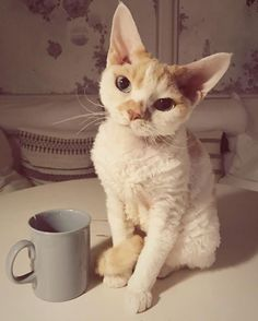 Top 14 Most Playful Cat Breeds – Cat Supplies Devon Rex Kittens, Beautiful Cat Breeds, Beautiful Cats, Siamese Cats, Cats And Kittens, Ugly Cat, Selkirk Rex, Cat Attack, Animals