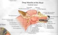 Muscles tête 2