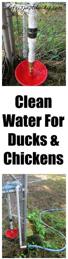 Automatic Clean Water for your ducks and chickens. Even a quick connect for easy cleaning. This keeps a continuous supply of fresh water so I can go on vacation