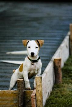 Daiwa is a 1 year old JRT. He was born and raised in Thailand. He is a very lovable dog.