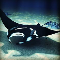 Beautiful manta ray shot from @wildbluesau on Instagram. To see your photo here, tag it PADI. We choose one per day as our featured image.