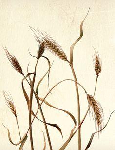 botanical illustration of wheat by Joni Stringfield
