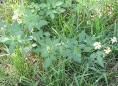 Florida Spanish Needle | Spanish Needles  biden medicinal plant