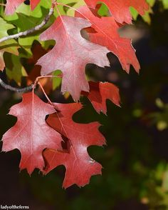The red oaks were to die for. #sedonaaz #sedona #fall #autumn #autumnleaves #fallleaves #red #az #azlove #arizona #arizonalife #arizonalove #iamabotanist #botany #botanical  #naturelovers #naturesbeauty  #instanature #tree #trees #fallcolors #fallcolor #fallcolours