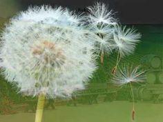 Hans Griffaton - Wo ist die Zeit nur hin - YouTube Dandelion, Flowers, Youtube, Plants, Studying, Dandelions, Plant, Taraxacum Officinale, Royal Icing Flowers