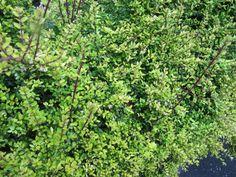 Lonicera nitida - Chèvrefeuille arbustif - Leonora Enking / flickr.com