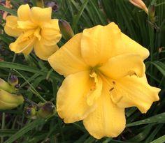 Daylily Yellow bouquet