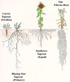 Root systems of prairie plants biology images pinterest root people also love these ideas ccuart Image collections