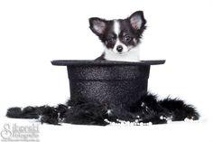 """Chihuahua Welpe """"Daisy"""" im Studio. Sylvester Edition mit Zylinder :D  www.Sikorski-Fotografie.de Haustierfotografie für Berlin & Brandenburg"""