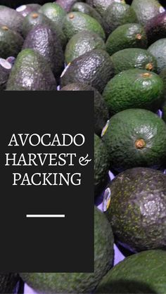 VIDEO: Avocado Harvest & Packing See how avocados are harvested and packed. All footage was taken in California, so you can see a California avocado grower and an avocado packing house located in California. Growing Seeds, Growing Plants, Avocado Picture, Fruit Garden, Fruits And Vegetables, Harvest, Diy, Packing, California