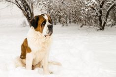 Solomon, my St. Bernard, in the snow