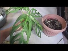 Monstera Adansonii How to Propagate - YouTube Propagation, Youtube, Tutorials, Gardening, Plants, Lawn And Garden, Youtubers, Youtube Movies, Horticulture