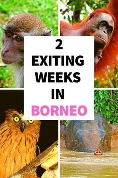Read this complete Borneo itinerary with all the main attractions and highlights. Find out the best time to visit and discover how to get to Borneo. Borneo Travel, Malaysia Travel, Travel Advice, Travel Tips, Travel Destinations, Travel Around The World, Around The Worlds, Main Attraction, Travel Aesthetic