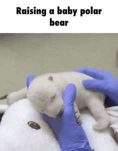 Raising a baby polar bear GIF