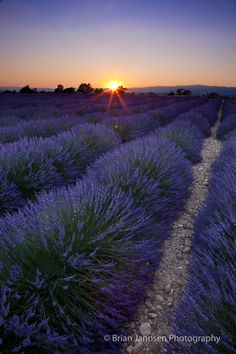 Sunset over lavender field near Valensole, Provence France. © Brian Jannsen Photography