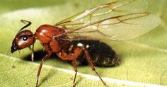 Genetically Modified Ants Could Replace Honey Bees, Claims Monsanto Expert!!!
