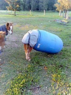 Pony stuck in a barrel